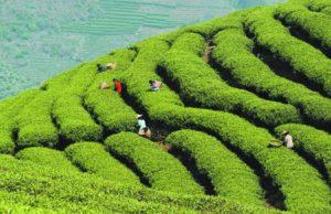 Degustazione Tè Verdi Cinesi in infusione a caldo e a freddo @ Tea Time